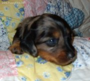 MINI DACHSHUND and ALL PET LOVERS MIRACLES