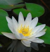 The White Lotus ( Mallica / advanced coaching )
