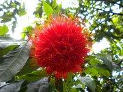 Сказочные цветы Гавайских островов
