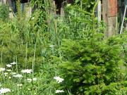 мой сад2