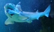 акулы в Приморье