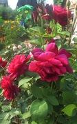 розы бардо