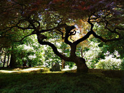 ***«ДЕРЕВЯННЫЙ ТАНЕЦ»***<Деревья – это Стихи, которые Земля пишет Небу>***