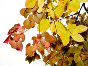 листва багряная