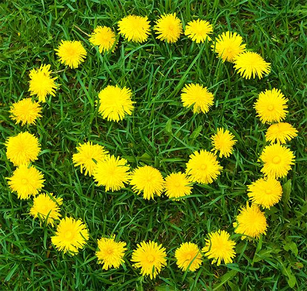 cvety-oduvanchika-1
