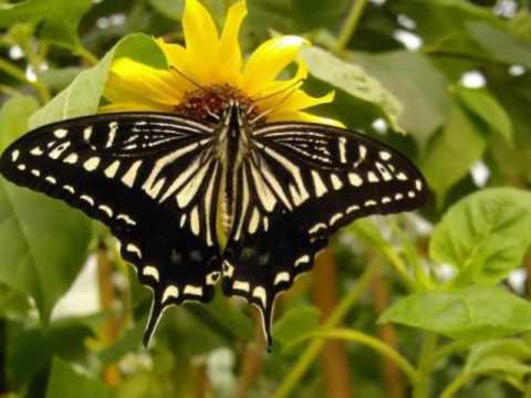 Yanni -  Butterfly dance