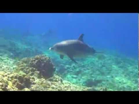 Дельфины в Коралловом Рифе Египет