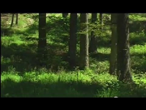 Настоящие Звуки природы  Живой лес Пение птиц.