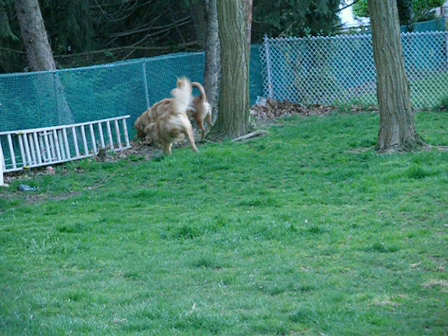 Dogs Outside playing April 2008 005