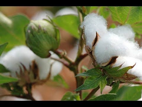 Tour a  Cotton Gin with Londa - How cotton is processed in a cotton gin after harvesting