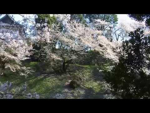 "Cherry Blossom さくら夢 Sakura Dreams Too  4.11.14 Mai Yamanae ""Haru Ga Kita"" Spring Has Come"