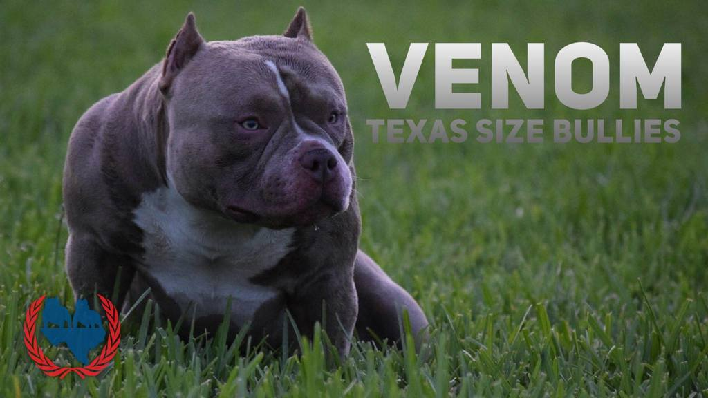 LOUIS V LINE'S VENOM'S 1ST BORN LITTER PRODUCES 1ST CHAMPION