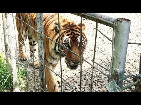 """3 Tigers Rescued from NY """"Sanctuary"""""""
