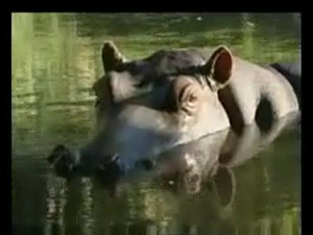 happy_hippo.Bwmv