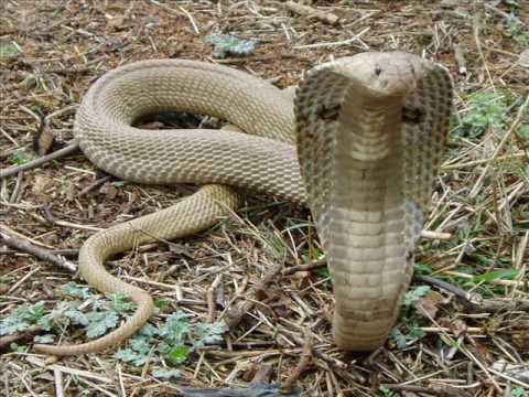 Worlds Top 10 Venomous Snakes