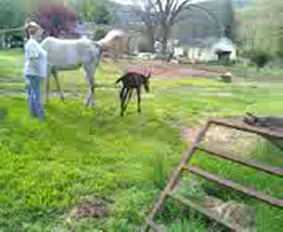baby mule