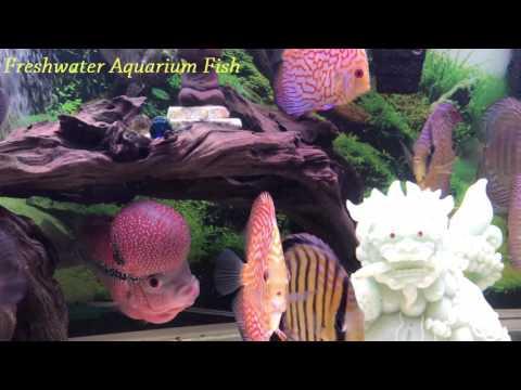 Amazing aquarium with Discus and Flowerhorn