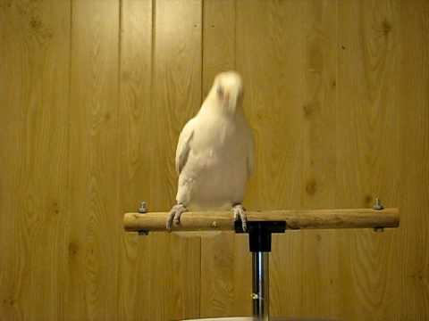 Frostie the Cockatoo Dancing