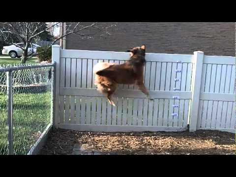 Jumping Dog, 1 jump