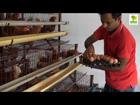 Layer Chicken Farming Plan and Starting a Business