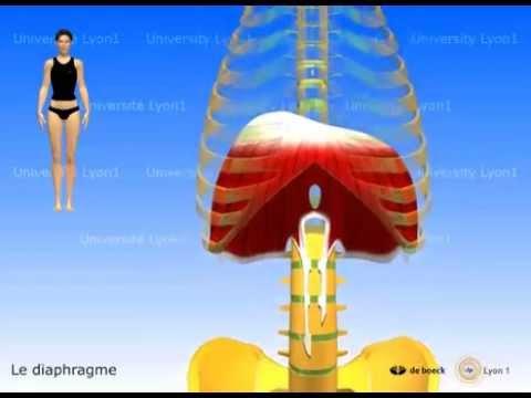 Muscle diaphragme, périnée simplifié, muscles intercostaux, tronc-caisson