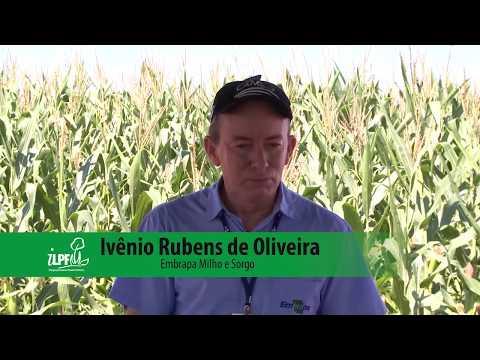 Manejo integrado de pragas na safrinha do milho