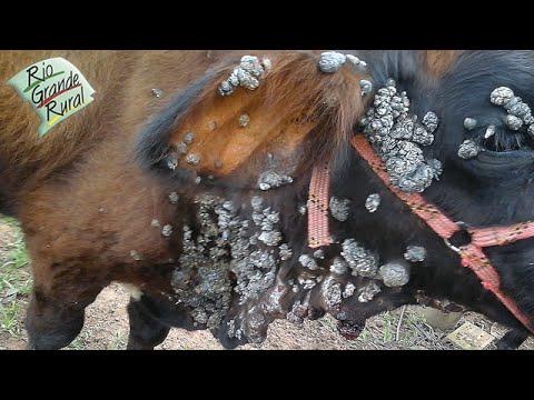 Emater responde: Qual o tratamento para a verruga dos bovinos?