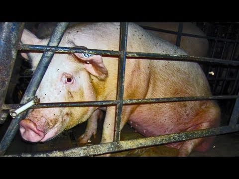 Concealed Cruelty - Pork Industry Animal Abuse Exposed