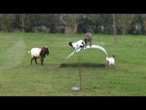 Goats Balancing on a Flexible Steel Ribbon