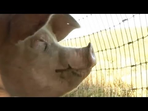 What Came Before, featuring Steve-O:  The Truth About Meat and Modern Farms