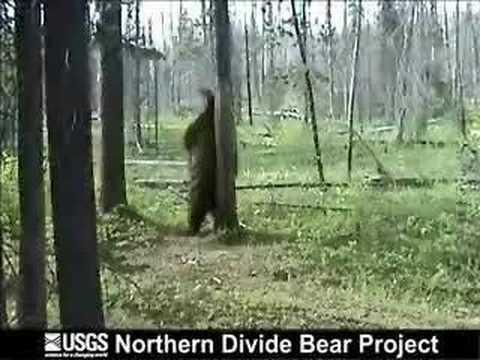 Black Bear Rubbing Tree and Attacks Camera