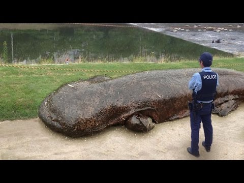 GIANT SALAMANDER EMERGES FROM RIVER IN JAPAN