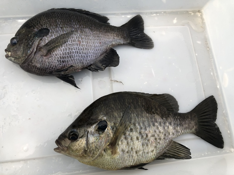 Solid Gill and Cracker.........7/17/2019