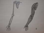Upper Limb Anatomy