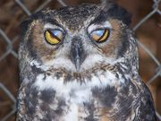 Nictitaing eyelid on our Great Horned Owl