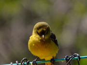 Orchard Oriole Female 2
