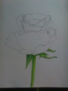 The begening of the first of my coloured Rose