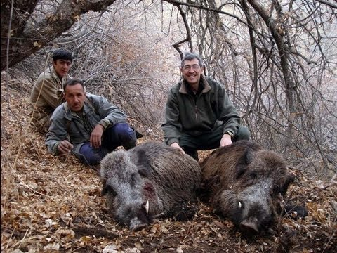 Sanglier au Tadjikistan
