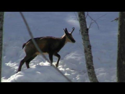 Ours des Pyrénées et faune sauvage filmés à Melles