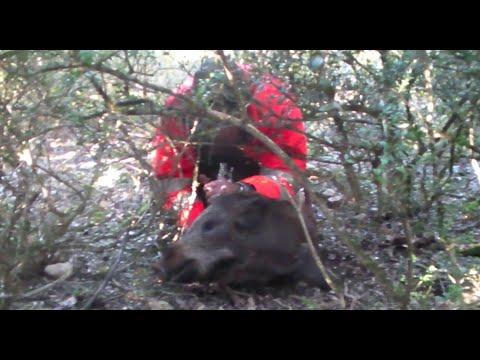 Recherche sanglier blessé - servi à la dague