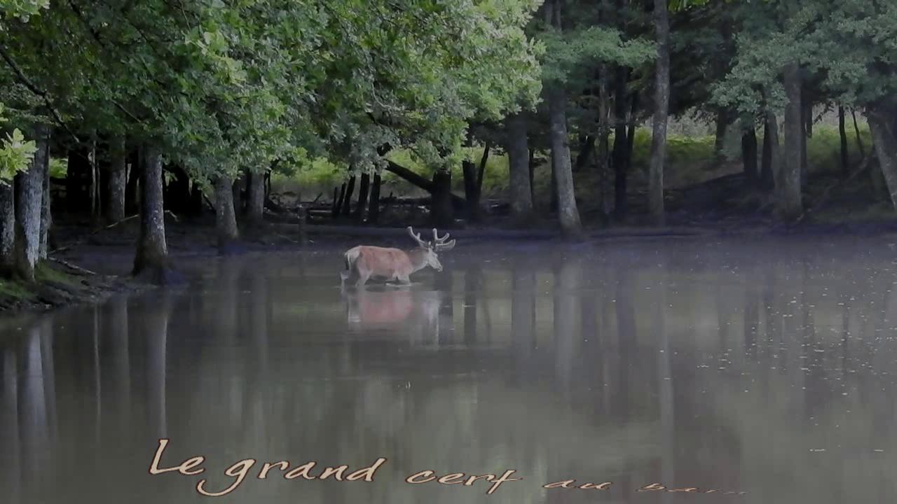 Grand cerf au bain - par de MEZERAC - MEZ