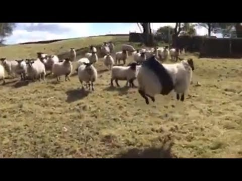 Metaphor: Sheep STUCK in a rope swing
