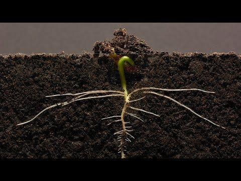 Bean Time-Lapse - 25 days | Soil cross section