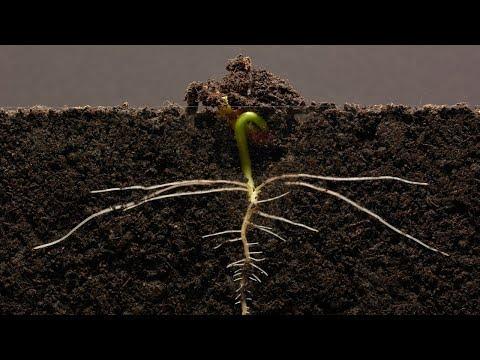 Bean Time-Lapse - 25 days   Soil cross section