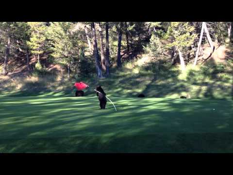Baby Bear Circus Act on Golf Course - At Fairmont Hot Springs Resort, BC