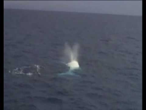 Migaloo - Albino Humpback Whale on The Great Barrier Reef