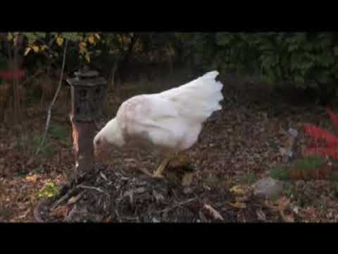 Raising chickens in your yard