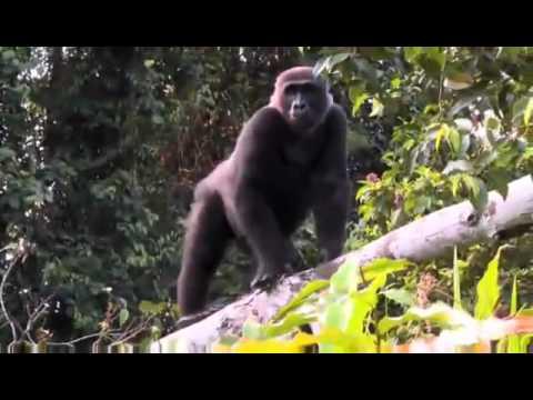 Man Reunited With His Childhood Friend Gorilla!!!