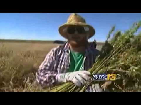 Historic Hemp Harvest in Springfield, Colorado 2013