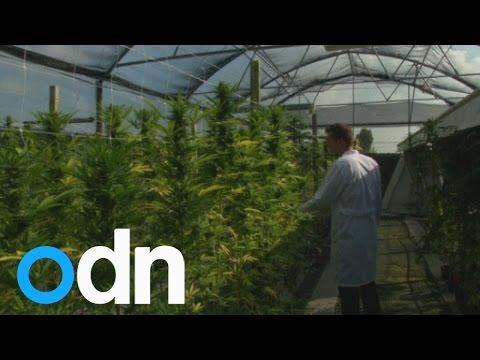 Italy calls in army to grow cheap marijuana